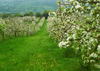 Floración del manzano en Valverán